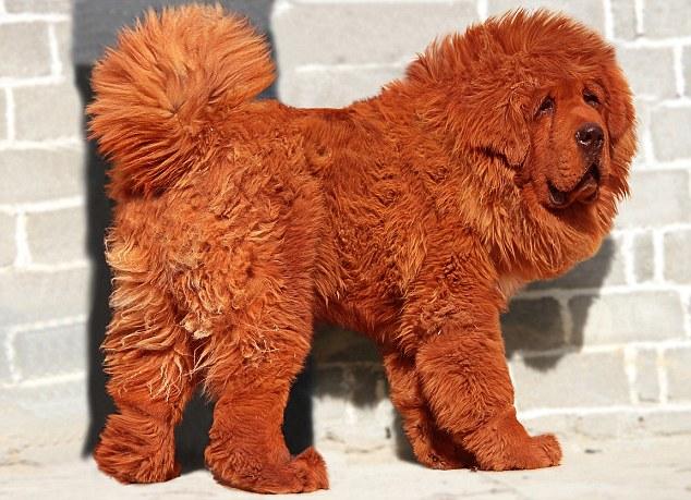 1886897fd7 Azért ezt nézd meg jól. Ez egy vörös tibeti mastiff fajtájú kutya. A világ  legdrágábbja. Tízmillió kínai jüanért, ami 945.000 angol fontot jelent, ...